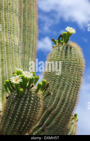 Cactus tree in Saguaro National Park, Arizona, USA - Stock Photo
