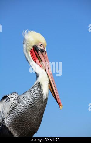 Brown Pelican (Pelecanus occidentalis) in winter plumage; Oceanside, California. - Stock Photo