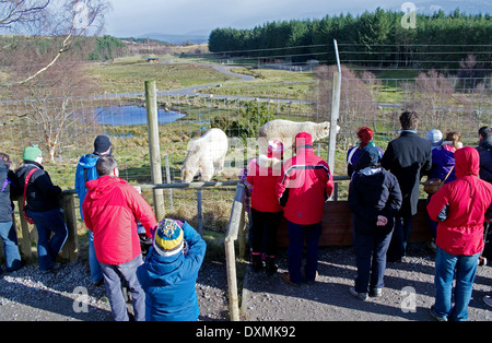 Visitors watch young male polar bears Walker and Arktos at feeding time from viewing area, Highland Wildlife Park, - Stock Photo