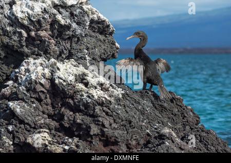 Galapagos Flightless Cormorant (Nannopterum harrisi), Elisabeth Bay, Isabela Island, Galapagos, Ecuador - Stock Photo