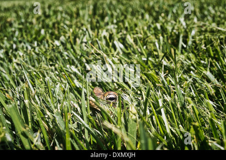 Toad peaking up from fresh cut grass after surviving lawn mowing - Stock Photo