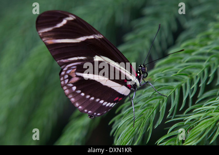 Side view of a Zebra Longwing (Heliconius charitonius) butterfly - Stock Photo