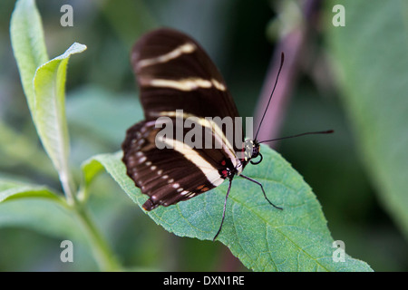 Side view of a Zebra Longwing (Heliconius charitonius) butterfly on a green leaf - Stock Photo