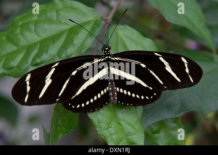 Zebra longwing (Heliconius charitonius) butterfly on a green leaf - Stock Photo