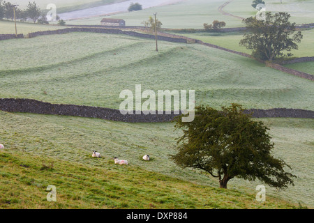 Sheep in Field, Burnsall, Yorkshire Dales National Park, United Kingdom
