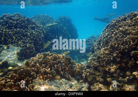 Underwater view of an healthy coral reef in the Caribbean sea with blade fire coral colonies, Yucatan, Mexico - Stock Photo