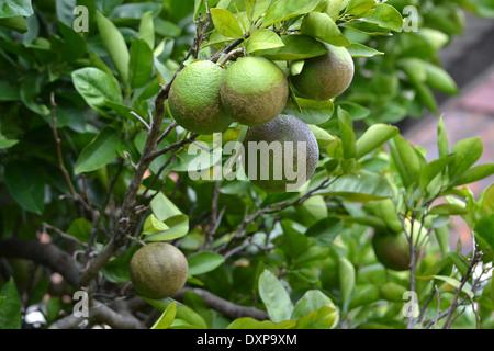 oranges growing on tree - Stock Photo