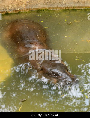 beautiful Pygmy Hippopotamus (Choeropsis liberiensis or Hexaprotodon liberiensis) resting in pond - Stock Photo