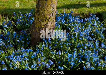 Siberian squill Scilla siberica Spring flower underplanted base tree March blue blooms blossoms flowers garden plant - Stock Photo