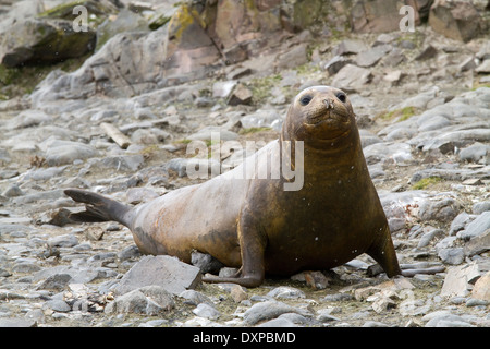 Antarctic Southern Elephant seal, Mirounga leonina, on a beach in the South Shetland Islands, Antarctica. - Stock Photo