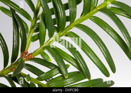 Common Yew, English Yew, Europäische Eibe, Gewöhnliche Eibe, Beeren-Eibe, Beereneibe, Taxus baccata, If commun - Stock Photo