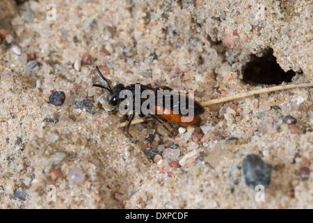 Sweat bee, Halictid Bee, Große Blutbiene, Auen-Buckelbiene, Kuckucksbiene, Sphecodes albilabris, Sphecodes fuscipennis - Stock Photo
