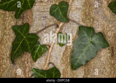 Common Ivy, English Evy, leaf, leaves, Blatt, Blätter, Hedera helix, Lierre grimpant - Stock Photo