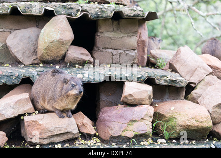 A Rock Hyrax, otherwise known as a Cape Hyrax and a Dassie, sitting on rocks in South Africa - Stock Photo
