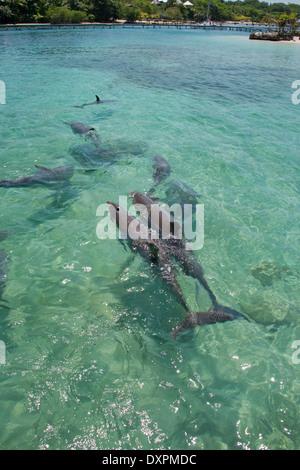 Honduras, Honduran Bay Islands, Roatan. Anthony's Key, pod of bottlenose dolphin (Tursiops truncatus) aka porpoise. - Stock Photo