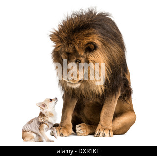 Lion sitting and looking at a chihuahua against white background