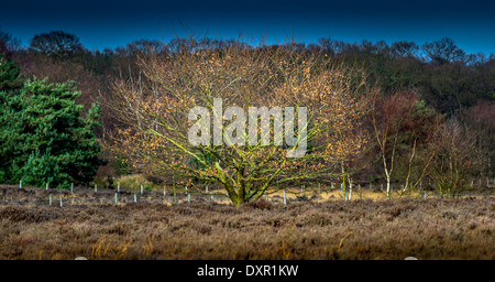 Small English oak tree standing by itself in heathland during early Spring. - Stock Photo