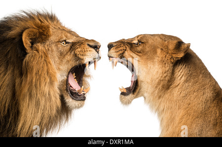 Close-up of a Lion and Lioness roaring at each other against white background - Stock Photo