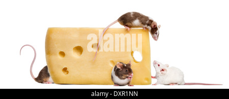 Mice on top of a big piece of cheese, Mus musculus, in front of white background - Stock Photo