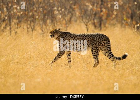 Cheetah in yellow grass - Stock Photo