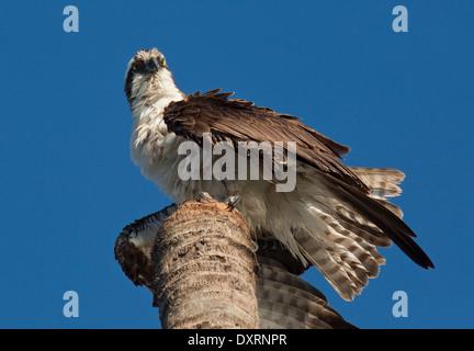 Osprey fish hawk pandion haliaetus at landing approach for Fish hawk fl