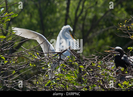 Great Egret Ardea alba egretta, (or Large Egret or Great White Heron), breeding season, Wakodahatchee Wetlands, - Stock Photo