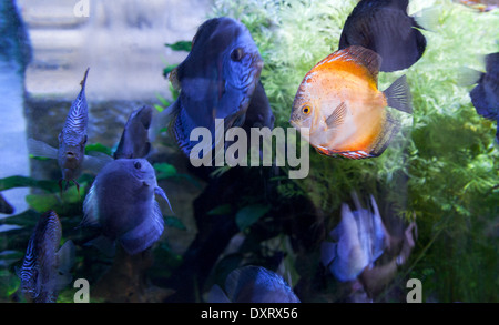 A bright orange cichlid fish amongst darker colored fish - concept of Different, difference, stand out or odd one - Stock Photo