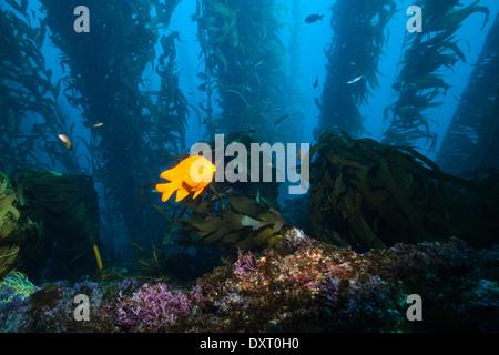 Garibaldi Fish in Kelp forest, Hypsypops rubicundus, San Benito Island, Mexico - Stock Photo