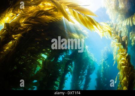 Kelp Forest Giant Kelp, Macrocystis pyrifera, Cedros Island, Mexico - Stock Photo