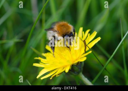 A bumblebee feeding on a dandelion flower in a Cumbrian meadow - Stock Photo