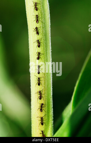 Ants crawling up leaf - Stock Photo