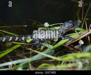 Young Alligator Basking In The Sunlight - Stock Photo
