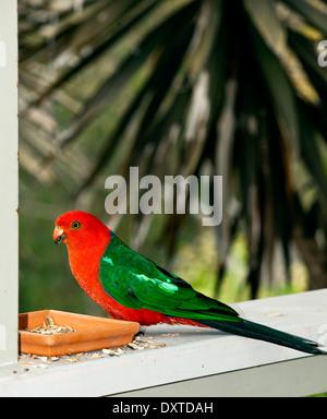 Australian Native King Parrot Feeding - Stock Photo