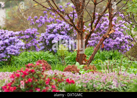 Paperbark Maple (Acer griseum) against backdrop of blue flowered Azaleas at RHS Wisley in April, Spring. - Stock Photo