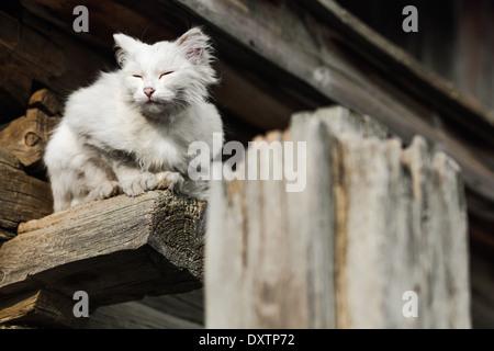 White cat sitting on wooden beam of building in Khuzhir, Olkhon Island, Lake Baikal, Siberia, Russia - Stock Photo