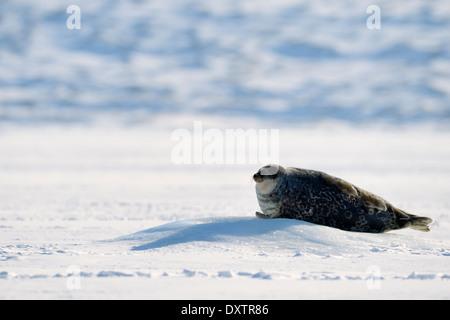 Harbor seal, Common seal (Phoca vitulina) lying on sea ice at water hole. - Stock Photo