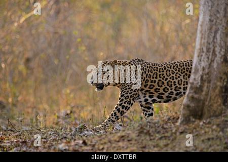 Male Indian leopard at dusk, Nagarahole National Park, India - Stock Photo