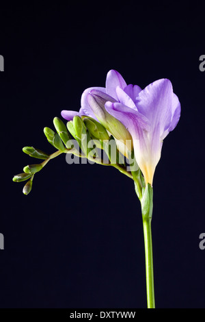 A purple Freesia against a black background - Stock Photo