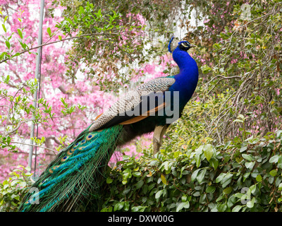 Male Peacock standing on a hedge