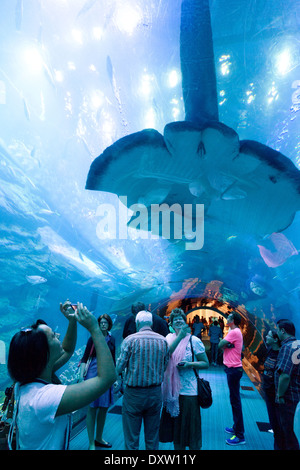 People taking photos of a large manta ray in the tunnel, Dubai Aquarium and Underwater Zoo, Dubai Mall, Dubai UAE - Stock Photo