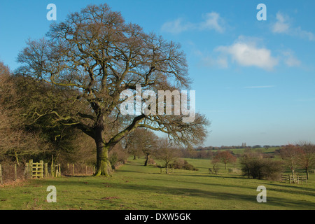 oak tree in the foreground, view from Burton bushes to the minster ,  winter sunshine and nice blue sky  (2 of a - Stock Photo