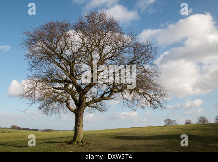 An oak tree without leaves in the winter sunshine and nice blue sky with clouds(2 of a series   ) - Stock Photo