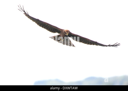 Female Marsh Harrier (Circus aeruginosus) in flight - Stock Photo