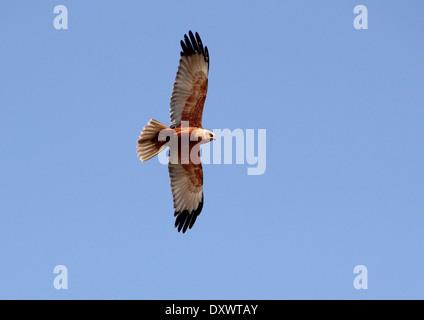 Male Marsh Harrier (Circus aeruginosus) in flight - Stock Photo