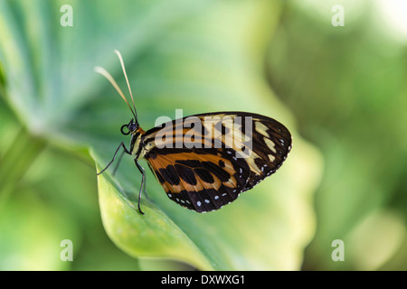 Heliconius xanthocles butterfly, sitting on leaf, captive, Munich - Stock Photo