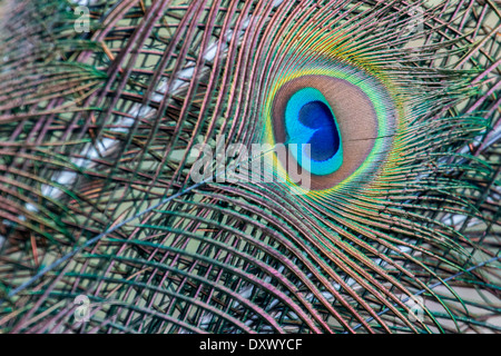 Indian Peafowl or Blue Peafowl (Pavo cristatus), detail of a feather, Slovakia - Stock Photo