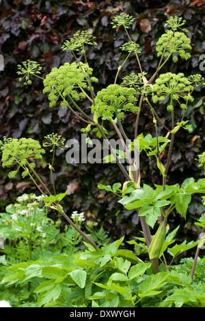 Angelica archangelica, Wild Celery. Herb. July. Bright green flowers. - Stock Photo