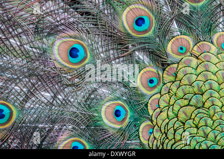 Indian Peafowl or Blue Peafowl (Pavo cristatus), plumage detail, Slovakia - Stock Photo