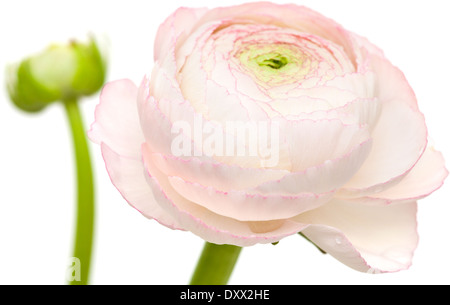 pale pink ranunculus, persian buttercup, isolated on white background - Stock Photo