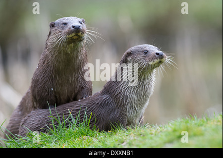 European otters (Lutra lutra) - Stock Photo
